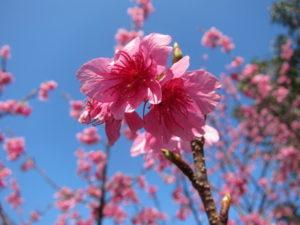 2月の沖縄と桜