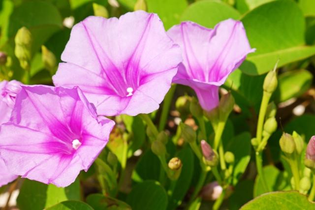 恩納村のビーチに咲く花